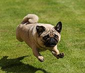 Pug running on grass