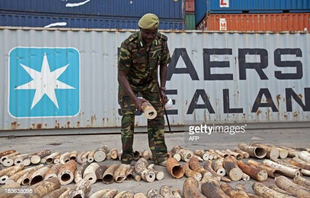Arthur Tuda Kenya Wildlife Coast Assiststant Director inspects a confiscated ivory consignment at the Mombasa Port on October 8 2013 The Kenya Ports...
