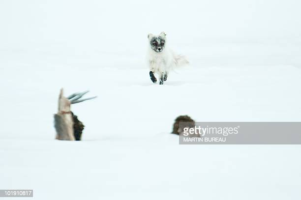 A Artic fox is pictured on June 4 2010 in NyAlesund in the Svalbard archipelago AFP PHOTO / MARTIN BUREAU
