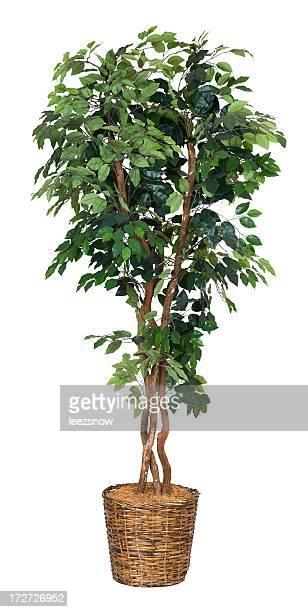 Artificial Ficus Tree - XXL