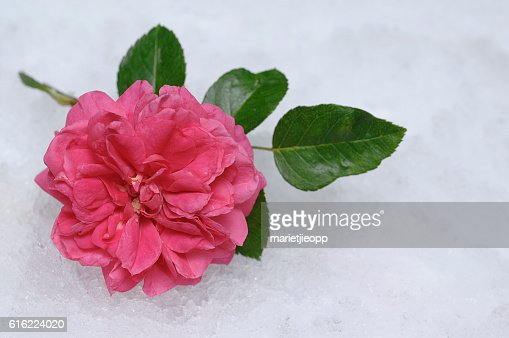 Artificial snow with a rose : Stock Photo