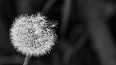 Beautiful black and white blowball with fragile seeds with fuzzes. Dark sad background with copy space. Selective focus