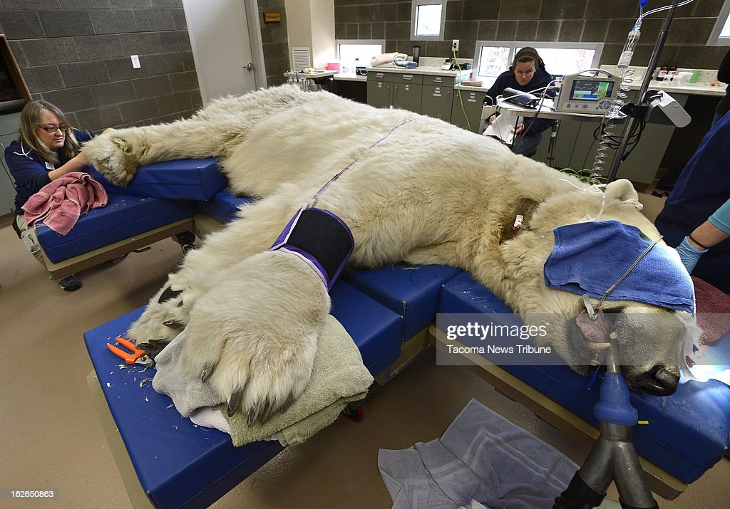 As Boris the Polar bear slept it off, head veterinarian Karen Wolf, left, works on trimming claws and taking care of paws Saturday, February 23, 2013 at Point Defiance Zoo & Aquarium in Tacoma, Washington.