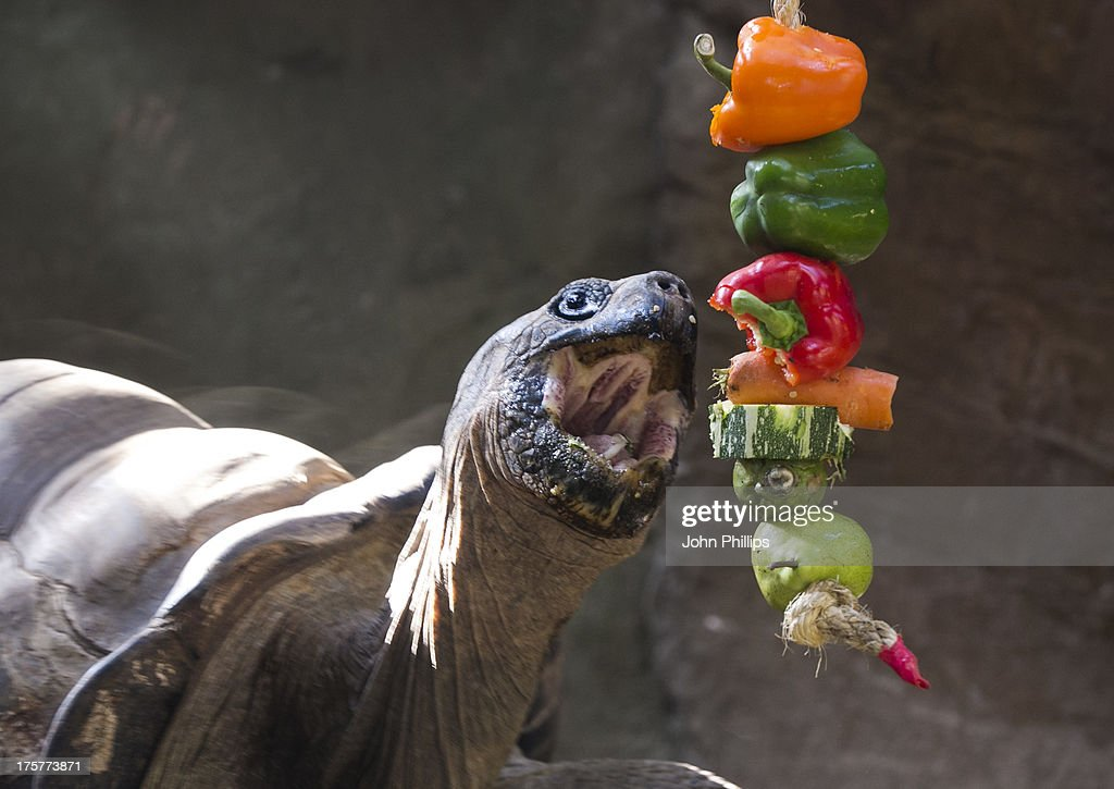 As part of ZSL London Zoo's extensive enrichment programme, Giant Galapagos tortoises have been given an upside-down version of apple bobbing has been going down a storm with the long-necked reptiles at London Zoo on August 8, 2013 in London, England. Keepers have hung ropes threaded with brightly-coloured apples from the overhanging branches in the tortoise enclosure, which the huge reptiles have to grasp and pull on with their beak-like mouths.