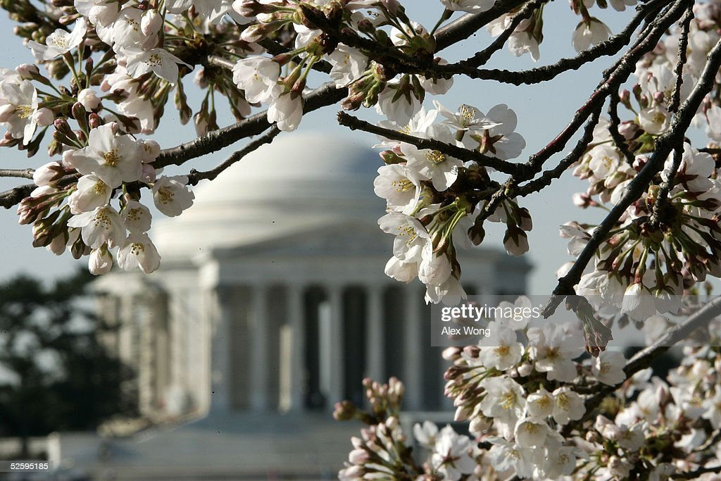 As the Thomas Jefferson Memorial is seen in the background, Cherry tree ringing the Tidal Basin bloom April 6, 2005 in Washington, DC. The National Park Service predicted that the peak bloom will be from April 8th to 9th.