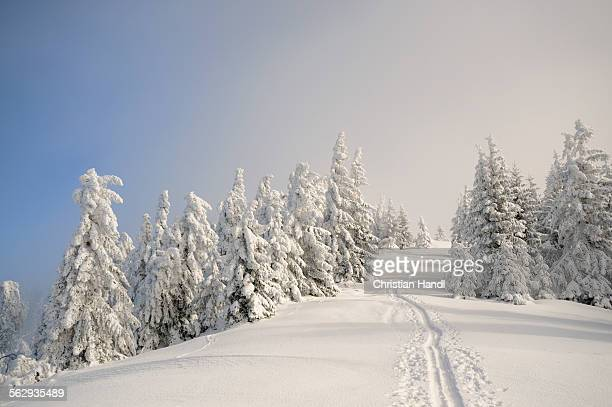 Ascent tracks and deep snow-covered trees at the ridge of Mt. Unterberg, ski tour, Mt. Unterberg, Lower Austria, Austria, Europe