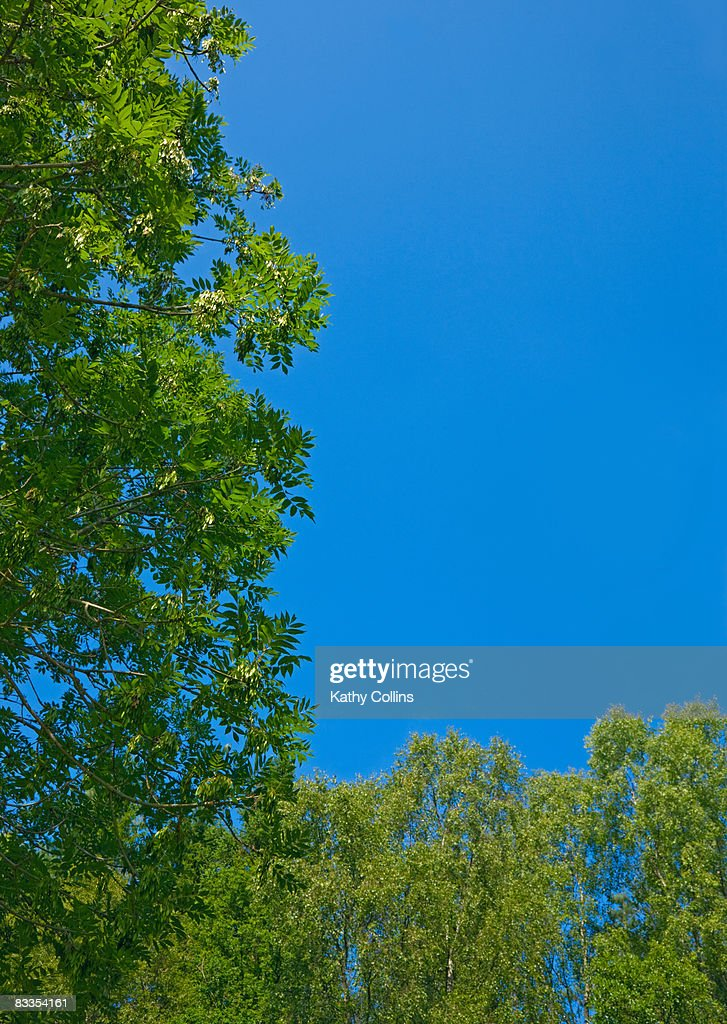 Ash and birch tree against a blue sky : Stock Photo