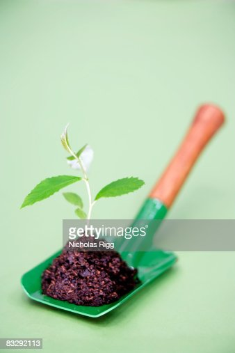 Ash seedling on green trowel : Stock Photo