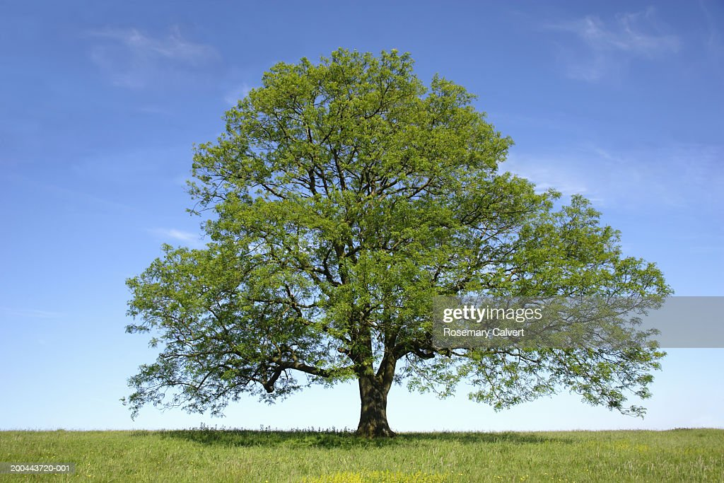 Ash (Fraxinus sp.) tree in field, spring : Stock Photo