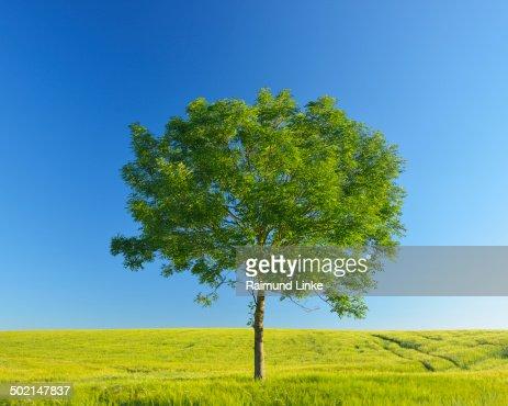 Ash Tree in Grainfield