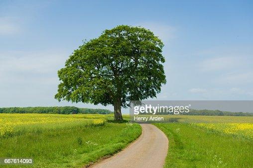 Ash tree on rural road at spring