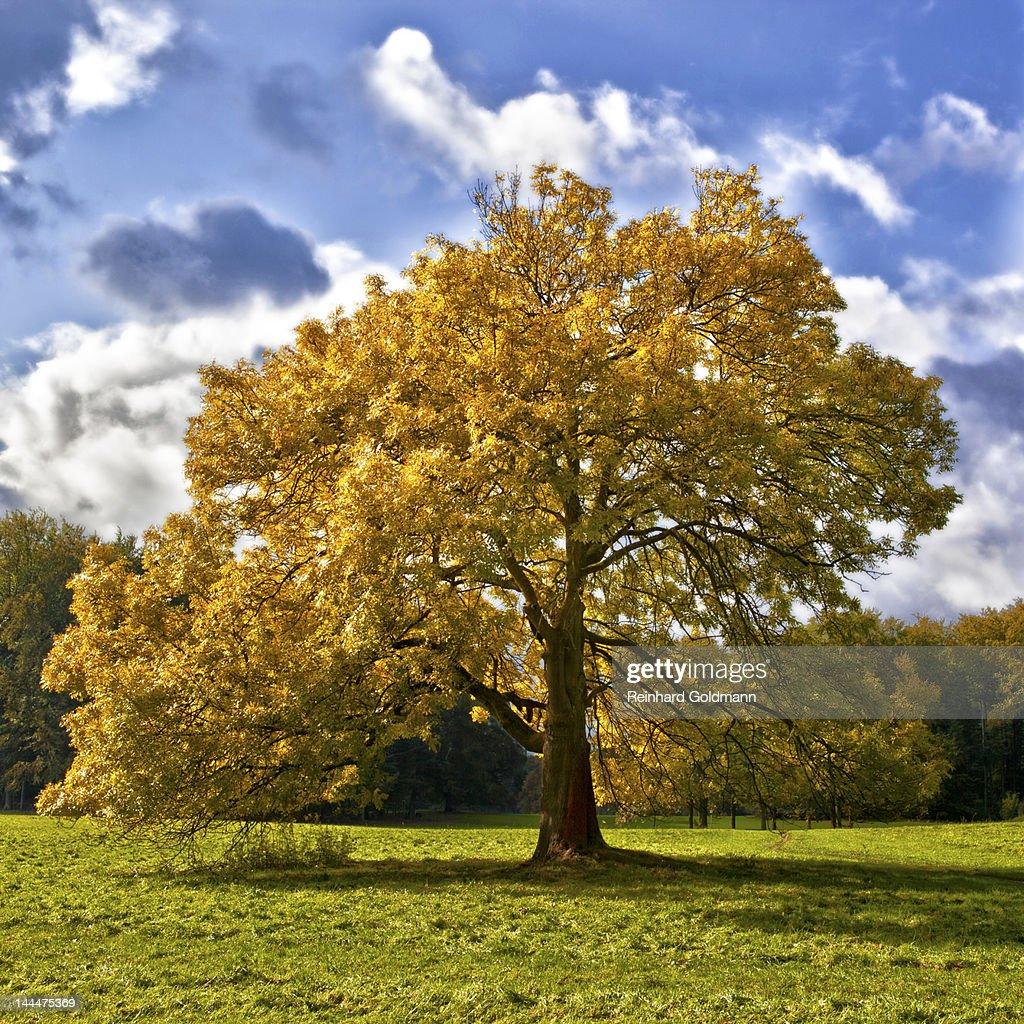Ash tree : Stock Photo