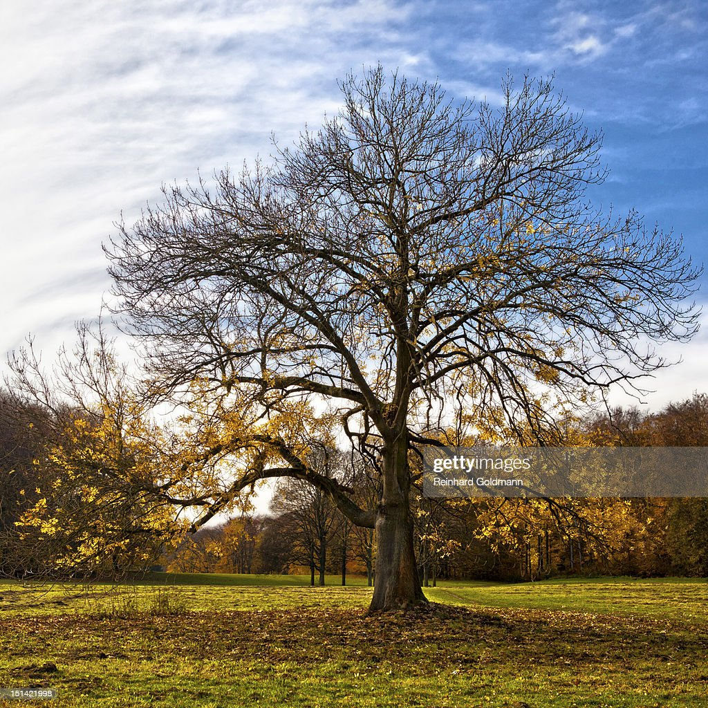 Ash tree : Stock Photo
