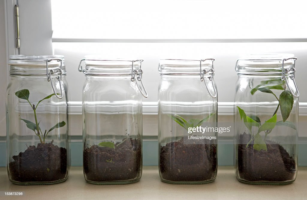 Ash tree sapling in preserving jar : Stock Photo
