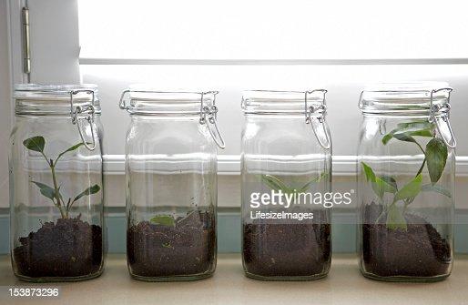 トネリコ若木保護の瓶入り : ストックフォト