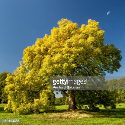 Ash tree with decrescent moon : Foto stock