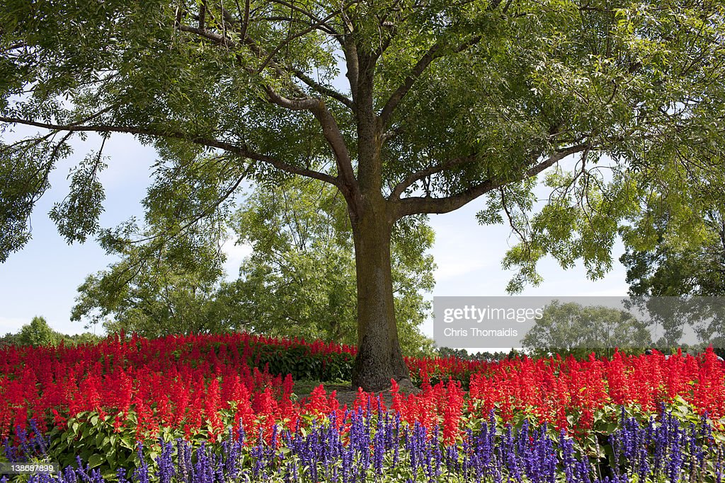 Ash tree with planted flower bed. : Stock Photo