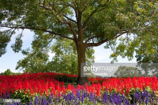 Ash tree with planted flower bed. : Bildbanksbilder