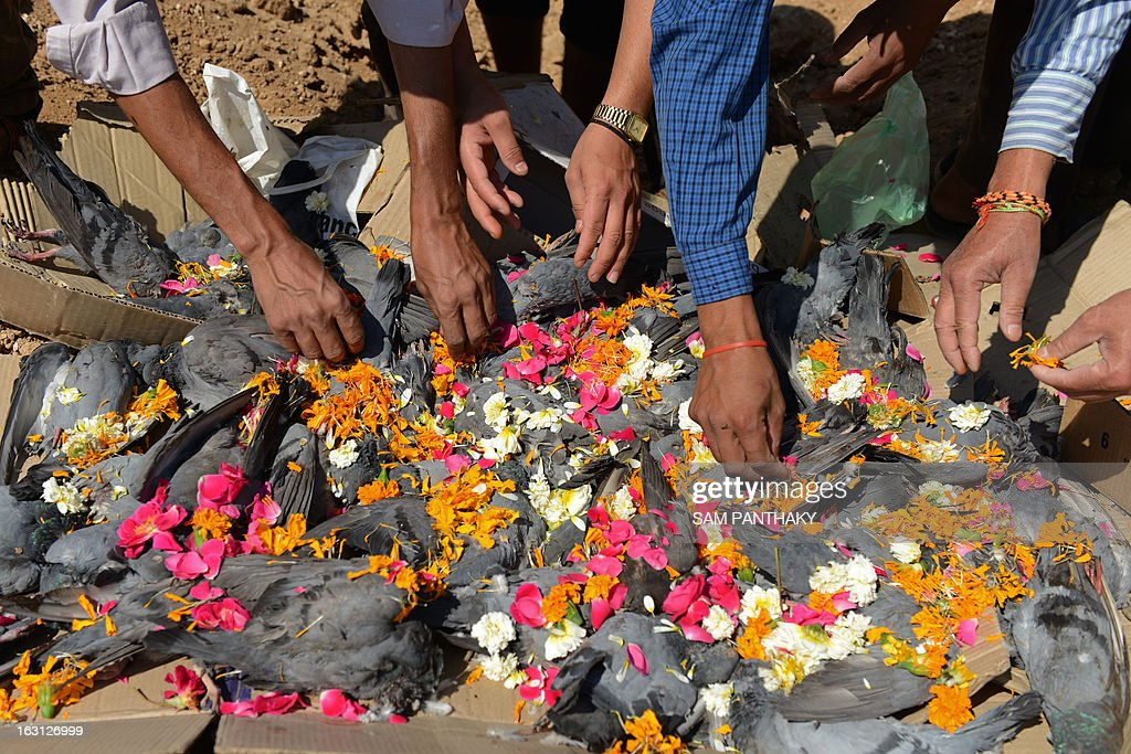 Asha Foundation members, who run an animal hospital and shelter, scatter flower petals over dead pigeons before cremating them in a ceremony at Hathijan village on the outskirts of Ahmedabad on March 5, 2013. About 200 pigeons were found dead March 4 after apparently consuming water laced with toxic chemicals in and around a steel mill at an industrial area in the city. Further investigations are on. AFP PHOTO / Sam PANTHAKY