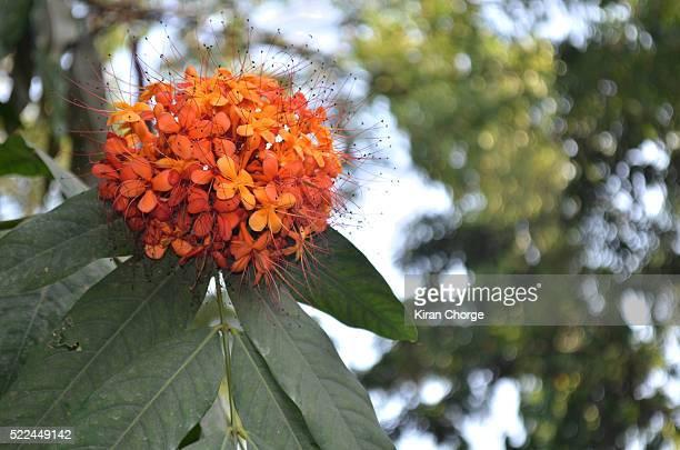 Ashok Flower
