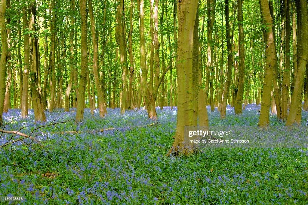 Ashridge Wood - Bluebells : Stock Photo