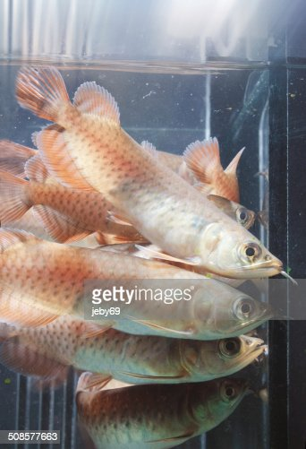 Asian Arowana : Stock Photo