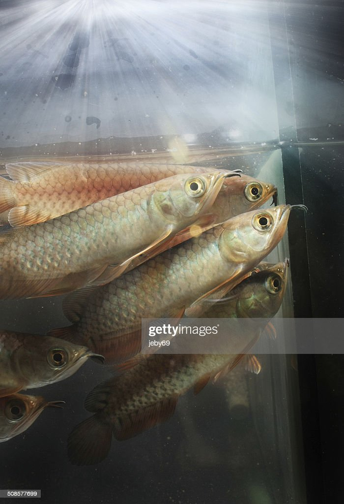 Arowana asiatique : Photo