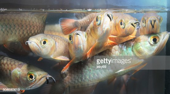 Asian Arowana : Stockfoto