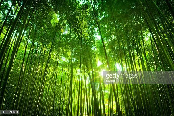 Bosque de bambúes asiáticos