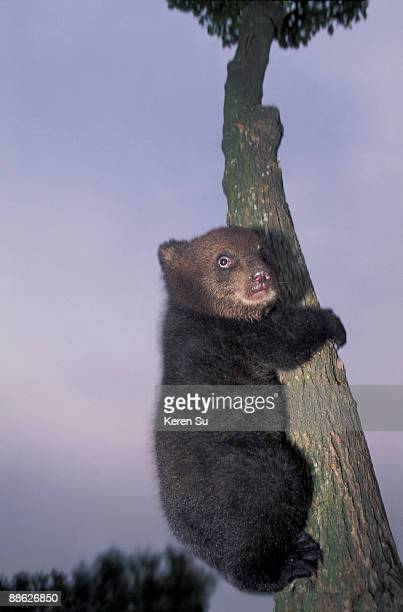 Asian Black Bear cub on the tree