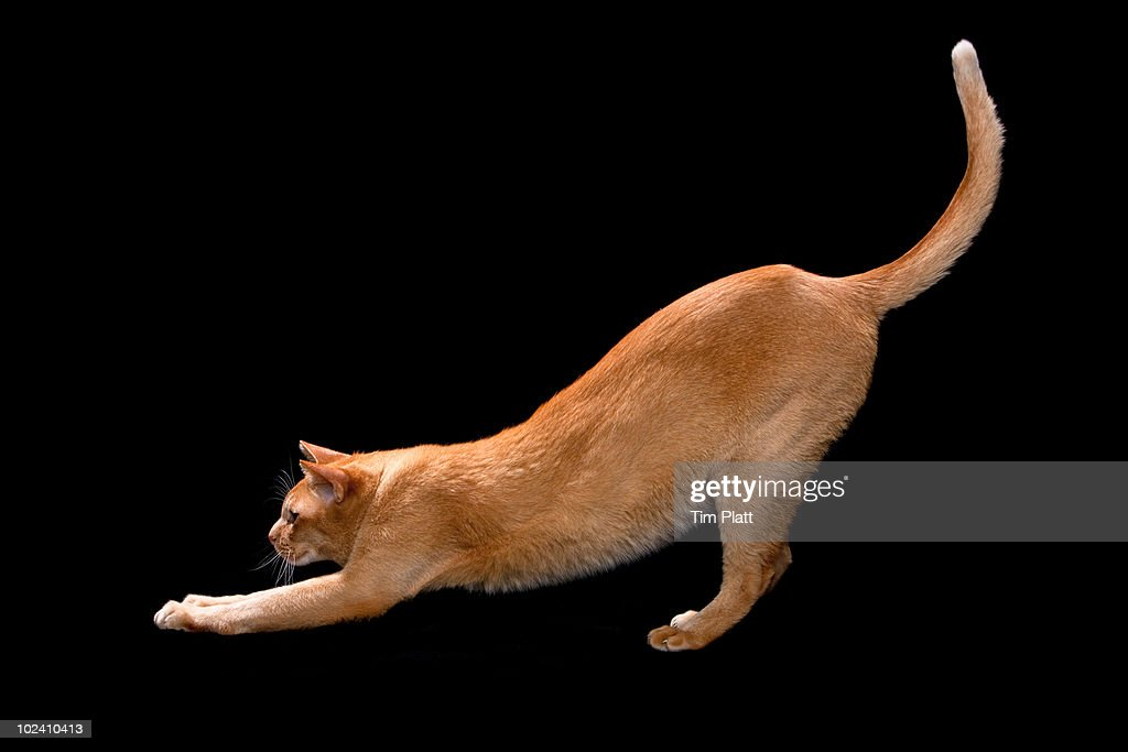 Asian cat stretching. : Stock Photo