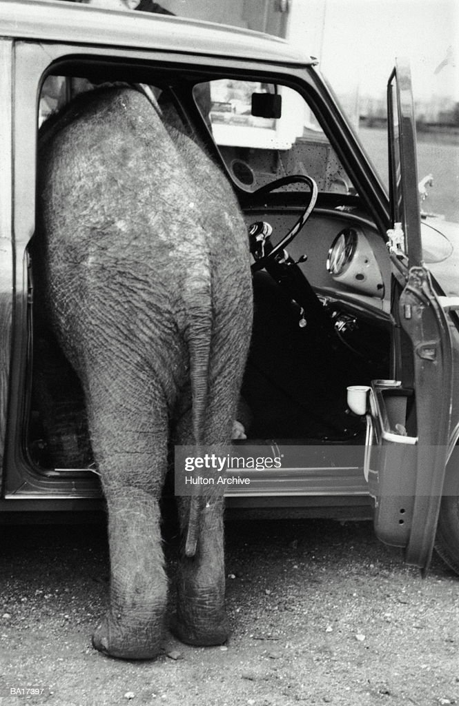 Asian elephant (Elephas maximus) climbing into van, rear view (B&W) : Stock Photo