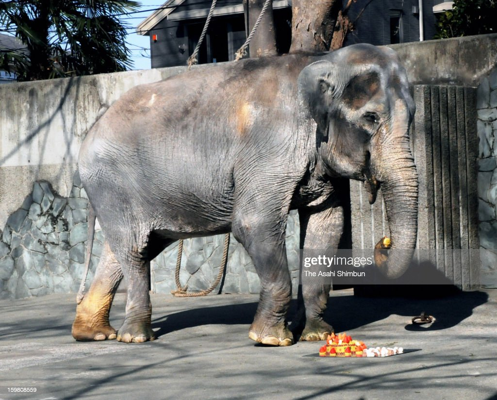 Asian Elephant Hanako eats a birthday cake during her 66th birthday party held at Inokashira Park Zoo on January 20, 2013 in Tokyo, Japan. Hanako was born in Thailand in 1947, came to Japan in 1949 as the first elephant taken to Japan after WWII, becomes the oldest living elephant in Japan.