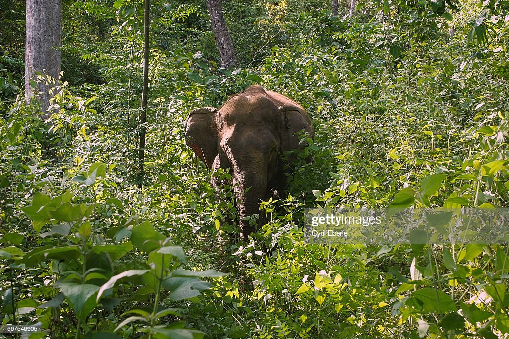 Asian elephant in forest : Stock Photo