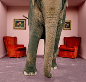 Asian elephant in living room