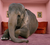 Asian elephant in lying on rug in living room