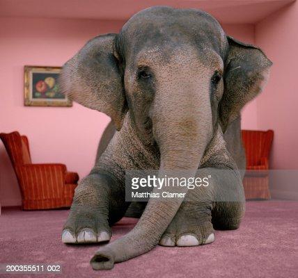 Asian elephant in lying on rug in living room