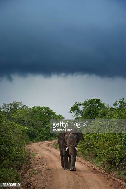 Asian elephant in Yala National Park