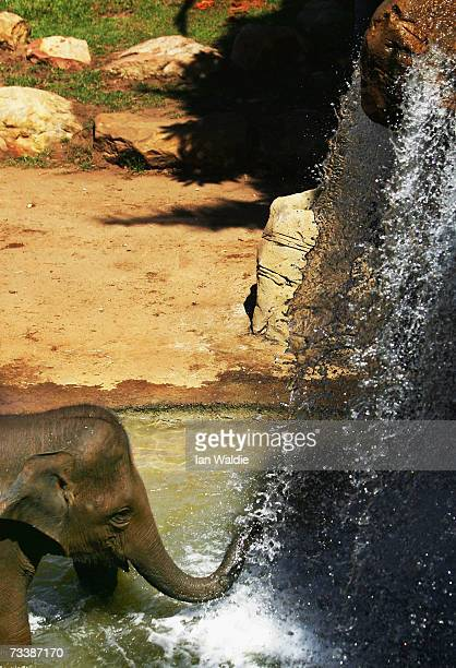 Asian elephant Thong Dee walks under a waterfall to take a shower in her enclosure at Taronga Zoo February 22 2007 in Sydney Australia Five Asian...