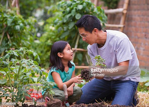 Asian father and daughter picking vegetables