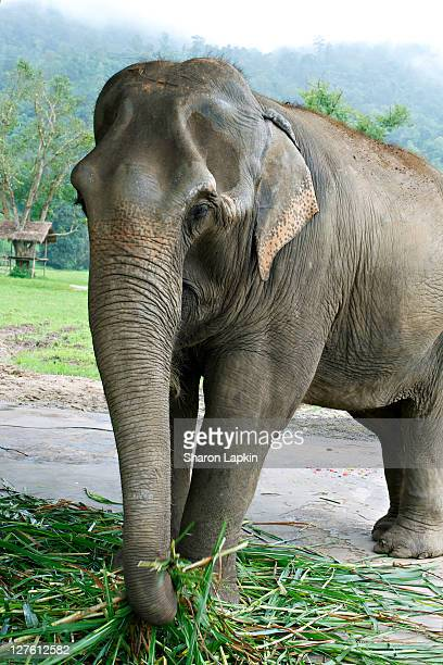 Asian female elephant