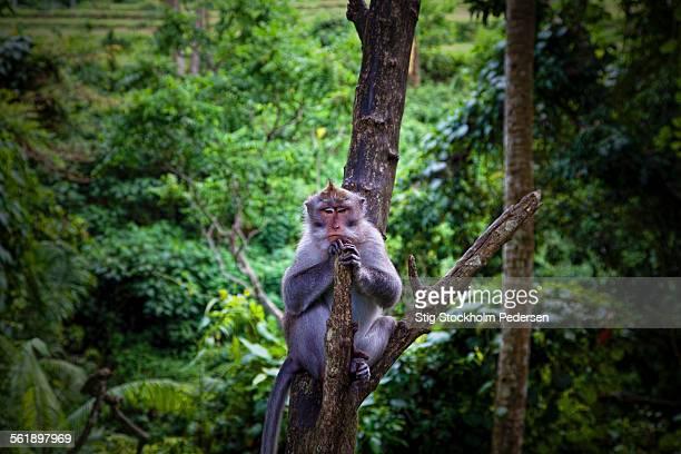 Asian Male Monkey