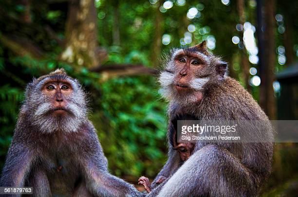 Asian Monkey Family