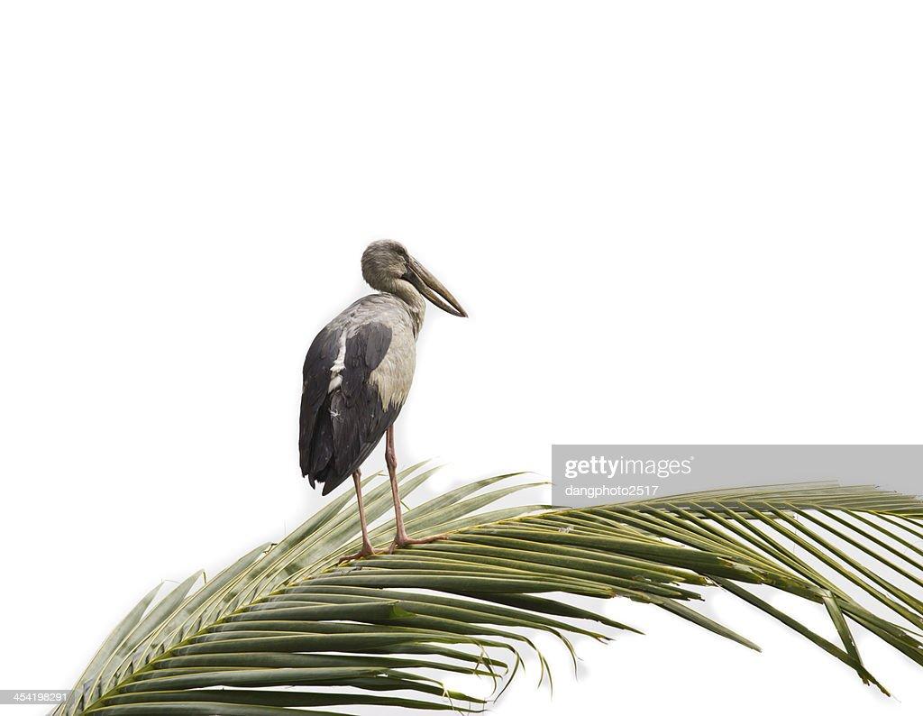 Cigüeña de pico abierto hindú standing en coconut hoja : Foto de stock