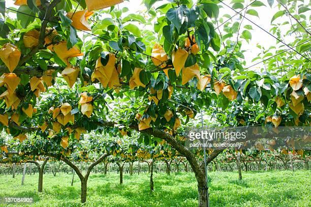 Asian pear trees, Fukushima Prefecture, Honshu, Japan
