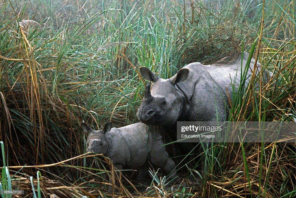 Asian Rhinoceros With Calf Chitwan National Park Nepal