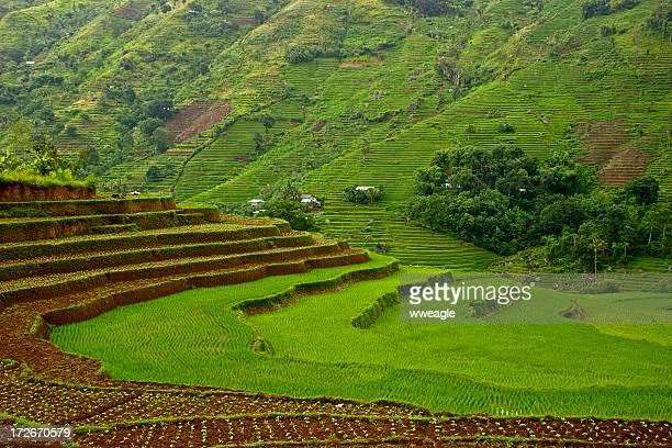 Asiatica terrazze di riso