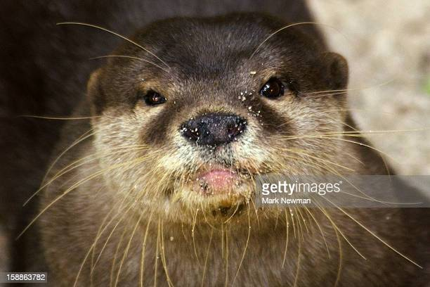 Asian small-clawed otter,portrait