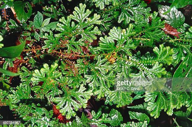 Asian Spikemoss Selaginellaceae