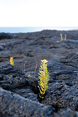 Asian swordfern -Nephrolepis brownii- as a pioneer plant on young pahoehoe lava, Big Island, Hawaii, USA